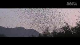 【实拍】贵州盘县竹海镇上演百万燕雀之舞