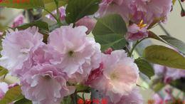 小区樱花秀