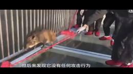 野生山猪误闯玻璃天桥被吓趴,每一步都走得揪心