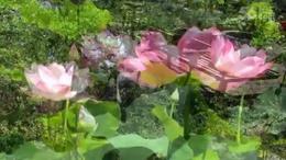 盆栽荷花色彩艳丽