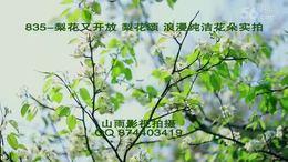 835 梨花又开放 邱诗晗 梨花颂 储兰兰  雪白梨花 浪漫春天实拍花...