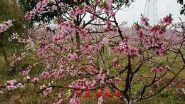 桂林海洋看桃花