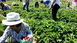 第24集;北美农场《采摘草莓》