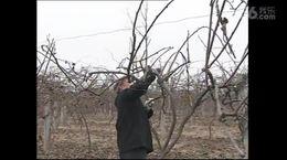 优质猕猴桃栽培技术(上)
