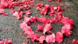 837 爱的世界只有你 三角梅专辑 红花 花团锦簇 万紫千红