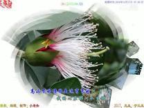 红树林之花