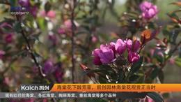 海棠花下醉芳菲,凯创园林海棠花观赏正当时