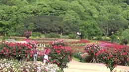 月季飘香的季节——龙寺生态园掠影