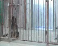 精品德牧 乔龙与拉尔的最后一只小公犬 2017