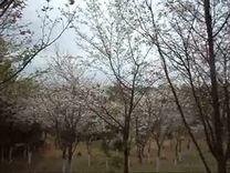 汝城广场舞腰鼓文艺队樱花公园一游