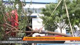 淄博凯创园林大规格朴树销往北京