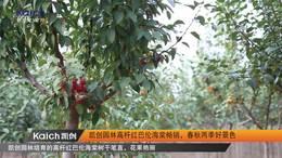 凯创园林高杆红巴伦海棠畅销,春秋两季好景色