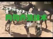 肉狗养殖视频肉狗管理方法