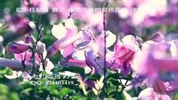 828 枉凝眉 葬花 紫色花摇摆 孤寂 伤感孤独 幽怨的 演奏背景...