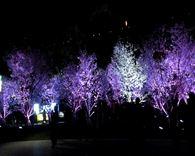 玄武湖樱花夜景