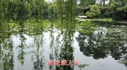 春游杭州:如诗如画西湖柳