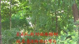 田家庄的树