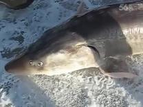 【发现最热视频】赚大发了!凿冰钓鱼居然钓到鲨鱼...