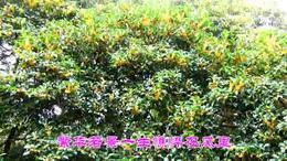 八月桂花香