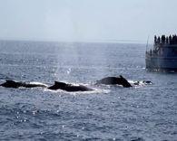 第32集;波士顿看鲸鱼