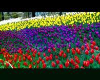 大宁 灵石公园郁金香2017年3月19日留念。111