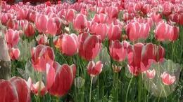 春赏郁金香