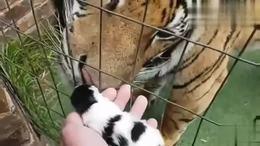 如果把小猫咪给大老虎看,会发生什么?萌翻了