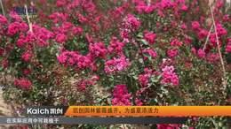 园林 凯创园林紫薇盛开,为盛夏添活力