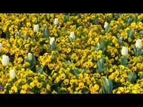 2017年4月2日植物园国际花展。视频合并。