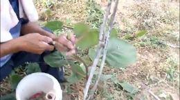 孟师猕猴桃树嫁接1