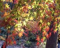 栖霞山红叶