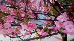 TSH视频田 经典歌曲 三月樱花红