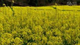 第二集  相册视频《婺源油菜花》 江西安徽之行系列片(二)