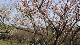 MAH00527梅园赏梅 1