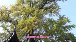 我爱家乡的银杏树