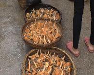 农村九月间的松菌子真的多