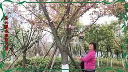 观赏最美樱花季 踏春游桂溪湿地2020