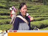 双柏:白竹山上茶飘香 产品优良受青睐_云南楚雄网