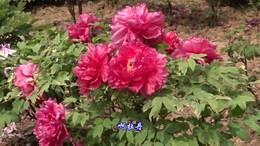 唯有牡丹真国色,花开时节动京城