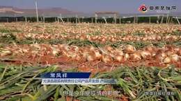 元谋洋葱滞销菜农心焦 近20万吨洋葱订购渠道已开启_
