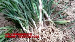 麦冬草价格行情
