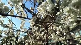 江夏奶奶种植樱桃树开花14年绽放