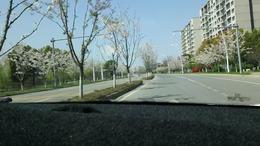 路两旁樱花