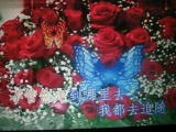 蝴蝶爱上红玫瑰 【WB】(甫人    阿东)2021 4 10