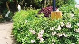 乐山理工学院的蔷薇花盛开了 视频制作.舞者清心