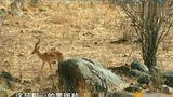狮子埋伏180公斤的羚羊,闪电突击却被羚羊角捅穿