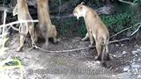 非洲花豹惨遭3头狮子围攻,生死关头豹子使出祖传绝招,险逃生