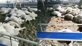 【河北】500多只羊疑被投毒一夜暴毙 养殖户:倾家荡产四处借钱养的