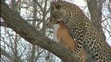 花豹把家狗叼到树上,主人在旁干着急,结果却是这样!
