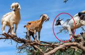 世界5个不可思议的生物!为了生存!山羊上树觅食?